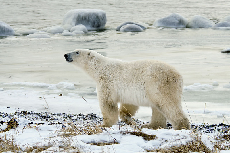 Polar bear and icy rocks