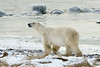 Polar bear and icy rocks