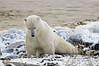 Polar-bear-doing-morning-stretch