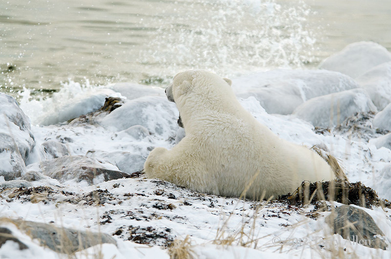 Polar-bear-watching-wave