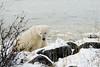 Polar-bear-eating-grass