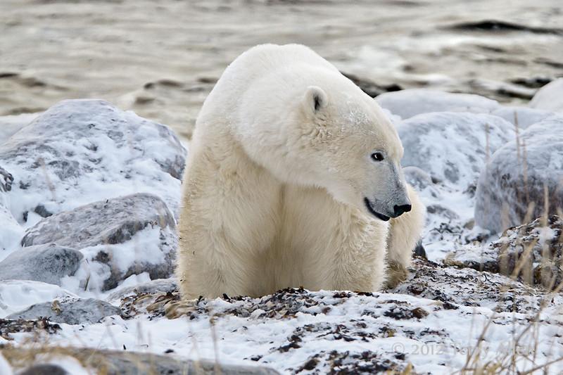 Polar-bear-on-beach-2
