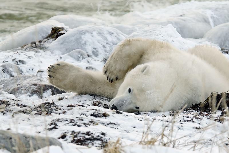 Polar-bear-waiting-for-freeze-up-12