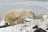 Polar-bear-at-shoreline-7