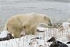 Polar-bear-at-shoreline-7