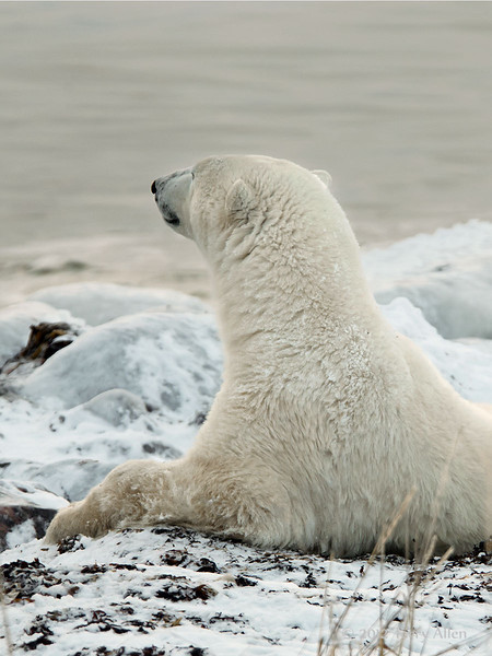 Polar-bear-waiting-for-freeze-up-9