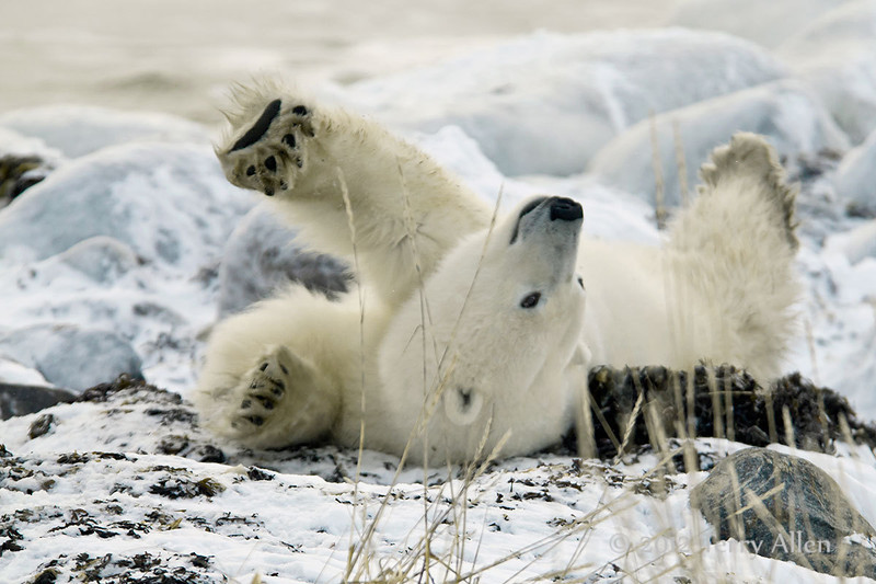 Polar-bear-rolling-on-seaweed-bed-1