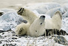 Polar-bear-rolling-on-seaweed-bed-1