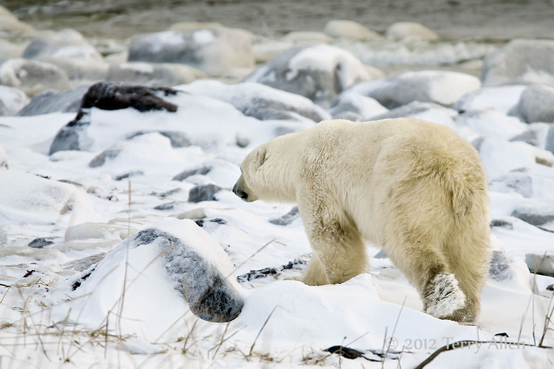 Polar-bear-at-shoreline-6
