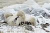 Polar-bear-with-long-tongue-1