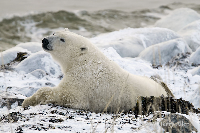 Polar-bear-waiting-for-freeze-up-6