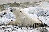 Polar-bear-waiting-for-freeze-up-6