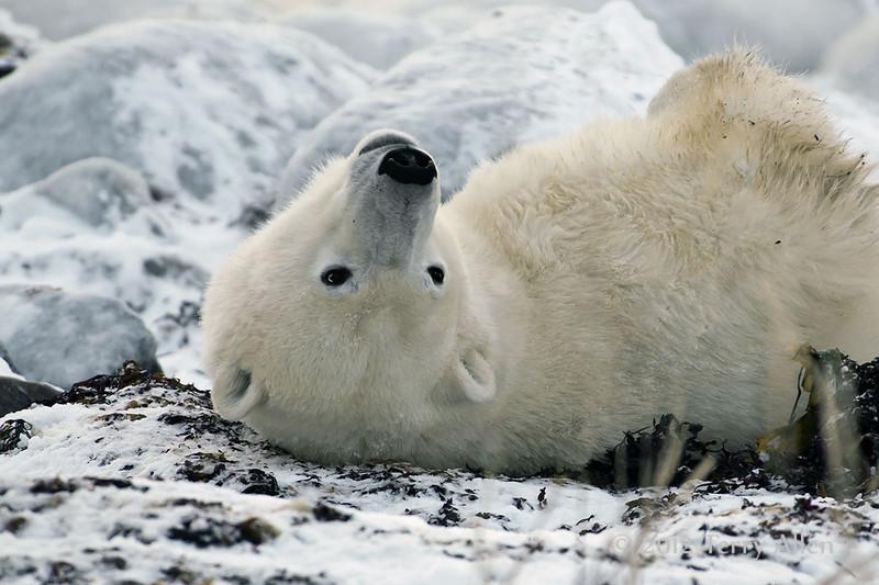 Polar-bear-waiting-for-freeze-up-5