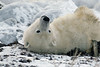 Polar-bear-waiting-for-freeze-up-5