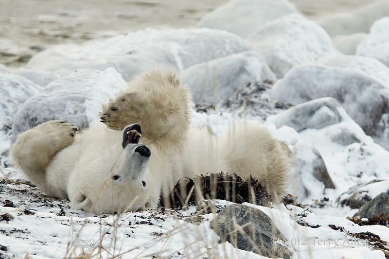 Polar-bear-waiting-for-freeze-up-11