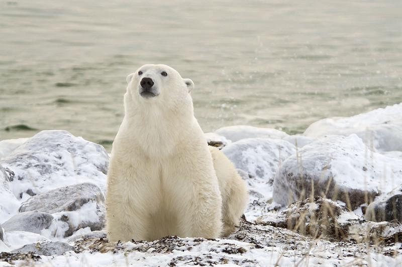 Polar-bear-on-beach-1