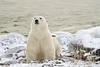 Polar-bear-on-beach-1
