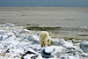 Polar-bear-at-shoreline-4