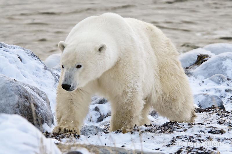 Polar-bear-on-beach-3
