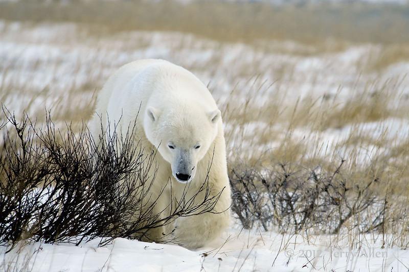 Polar-bear-with-grass-&-willows-1