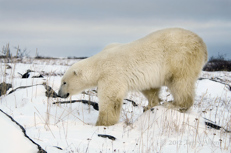 Polar-bear-walking