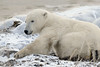 Polar-bear-waiting-for-freeze-up-2