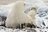 Polar-bear-examining-foot