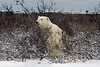 Polar-bear-in-willow-thicket-2