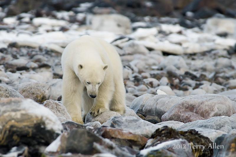 Polar-bear-on-icy-rocks-1