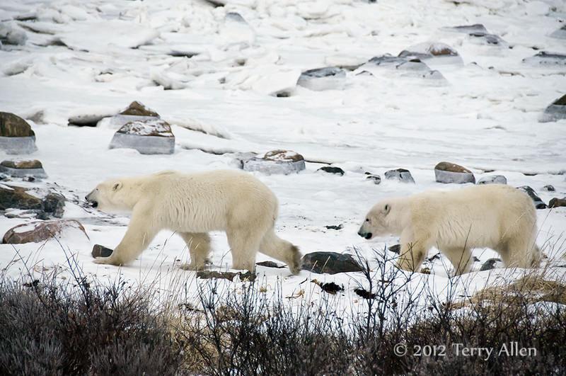 Polar-bears-on-shore-of-Hudson's-Bay-5
