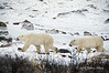 Polar-bears-on-shore-of-Hudson's-Bay-5
