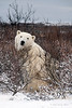 Polar-bear-in-willow-thicket-4