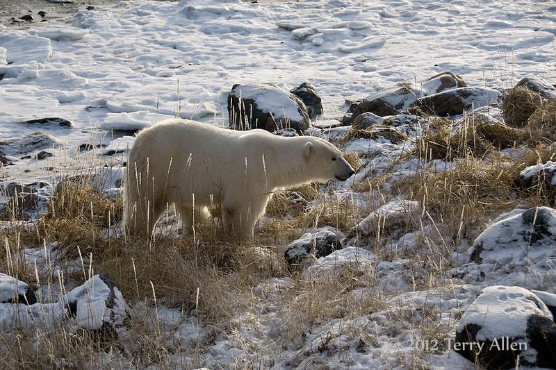 Polar-bear-on-shore-of-Hudson's-Bay-2