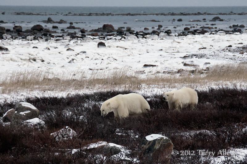 Polar-bears-on-shore-of-Hudson's-Bay-4
