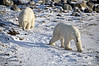 Polar-bears-on-shore-of-Hudson's-Bay-2