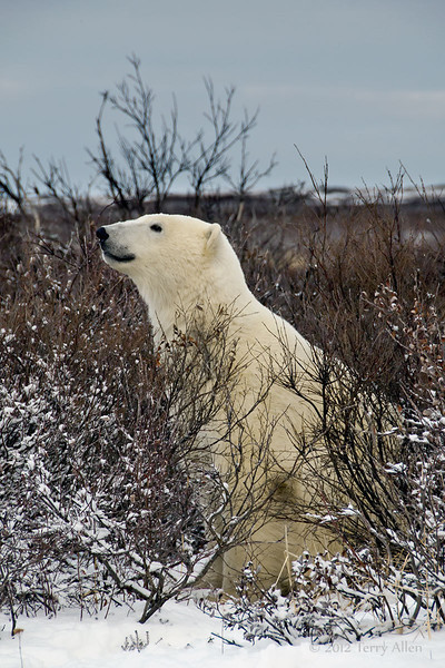 Polar-bear-in-willow-thicket-3
