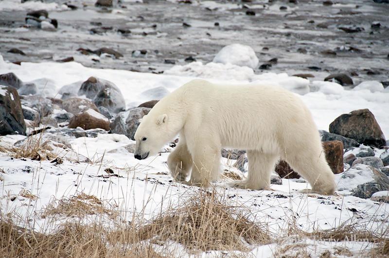 Polar-bear-on-shore-of-Hudson's-Bay-3