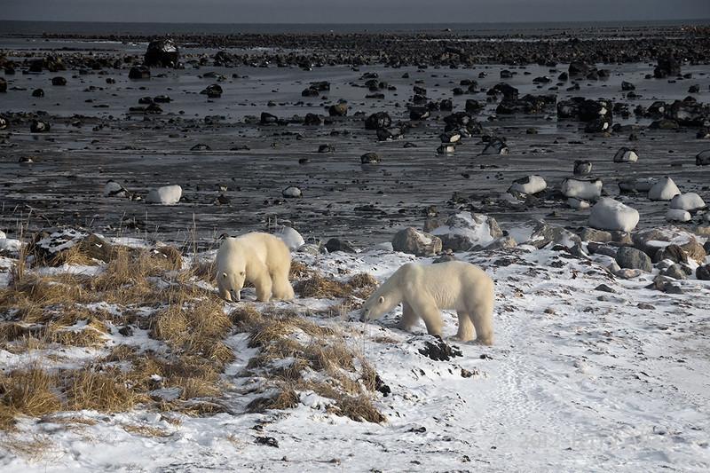 Polar-bear-on-shore-of-Hudson's-Bay