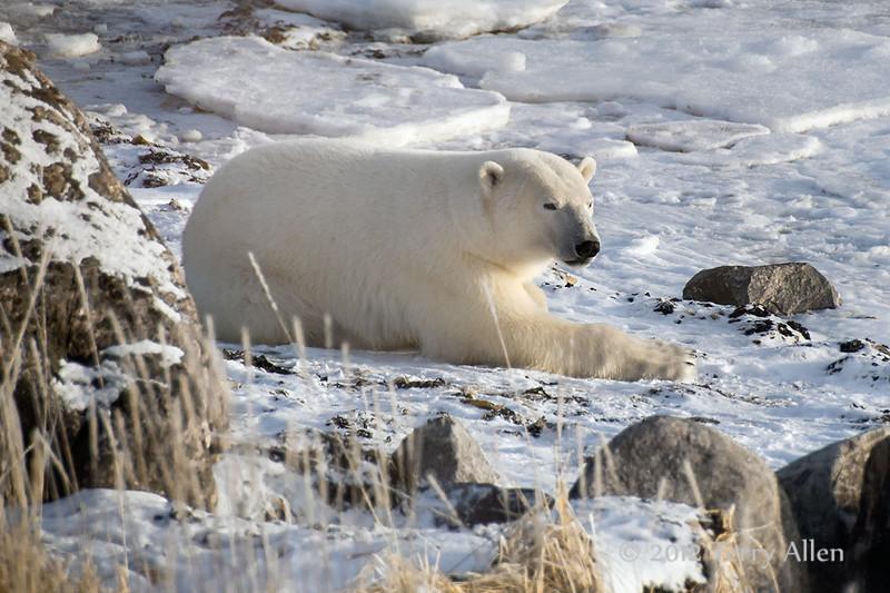 Polar-bear-resting-on-shore-of-Hudson's-Ba y