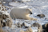 Polar-bear-resting-on-shore-of-Hudson's-Ba y