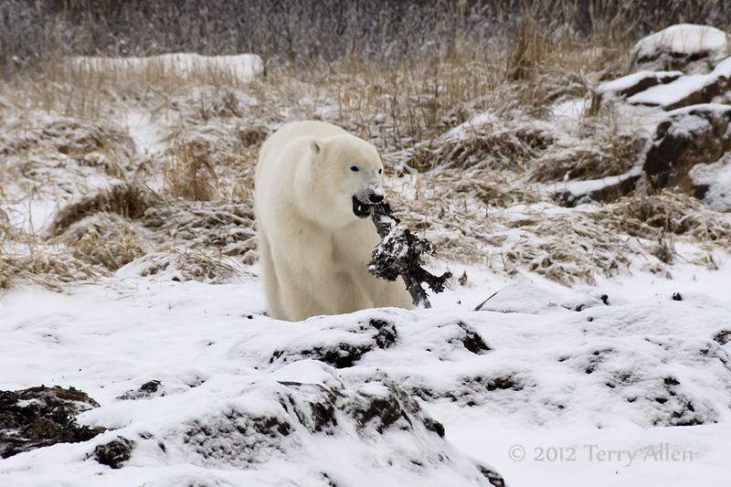 Polar-bear-playing-with-root