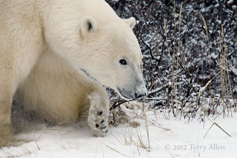 Polar-bear-in-willow-thicket-5