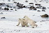 Polar-bears-on-shore-of-Hudson's-Bay-6