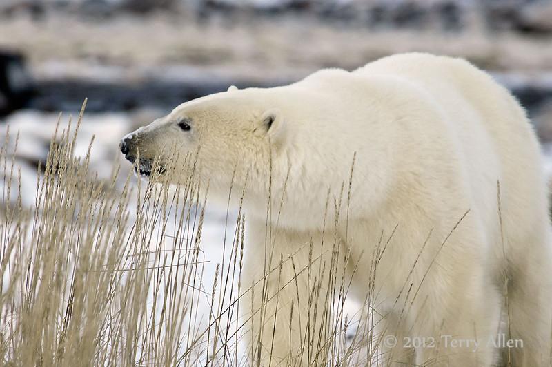 Polar-bear-in-tall-grass-1