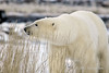 Polar-bear-in-tall-grass-1