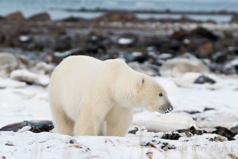 Polar-bear-on-shore-of-Hudson's-Bay-11