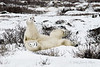 Polar-bear-taking-snow-bath-1