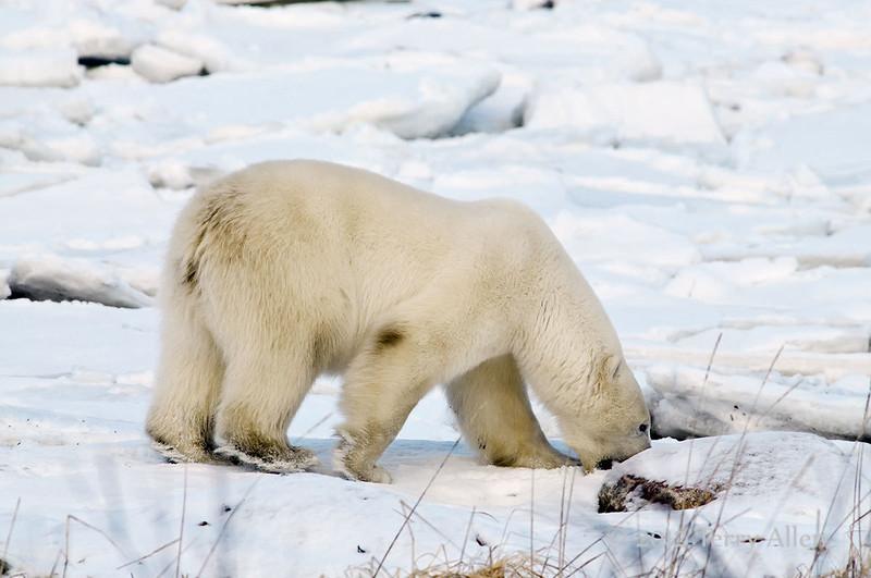 Polar-bear-eating-mouthful-of-snow,-sunset