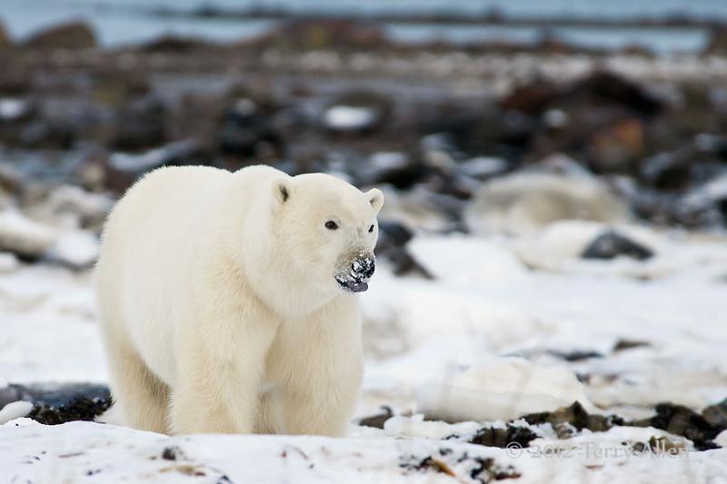Polar-bear-on-shore-of-Hudson's-Bay-tongue-out-9
