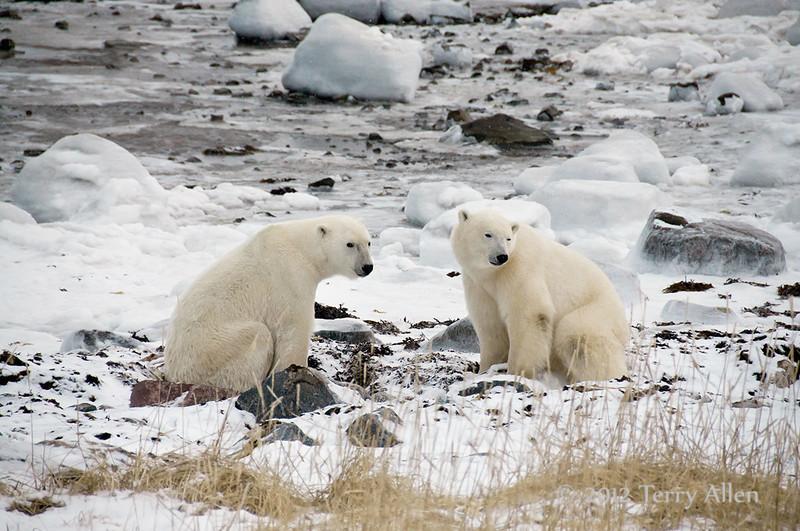 Polar-bears-on-shore-of-Hudson's-Bay-3